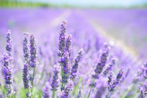 lavender-blossom-1595581_1920-300x200 Terapias Naturais: As propriedades da Lavanda na Fitoterapia